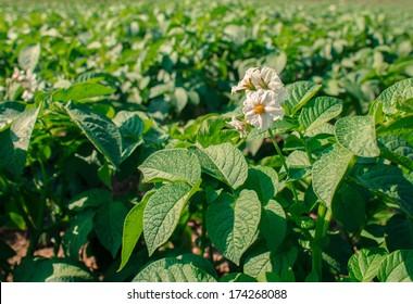 Close up of a potato field.