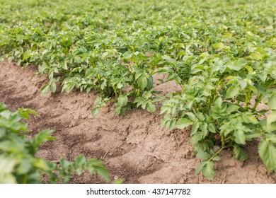 Close up of potato field row. Furrow plowed land with growing potatoes, spring season