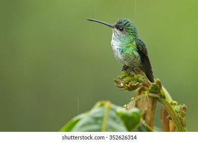 Close up potrtrait of female hummingbird Chrysuronia oenone  Golden-tailed Sapphire perched on top of the plant. Blurred green background.