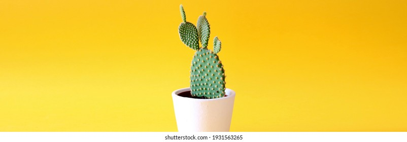 Close up of a potted bunny ears cactus in a white flowerpot isolated on bright yellow coloured background with space for text