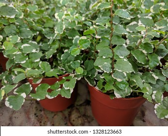 Close up of potted plants of creeping fig (Ficus Pumila) with small green and white leaves