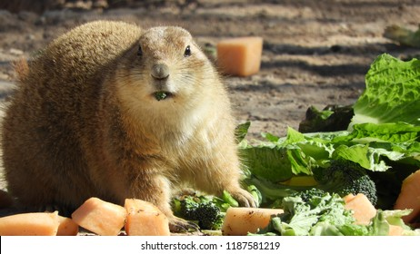 Close up of a prairie dog looking at camera while eating fruit and greens