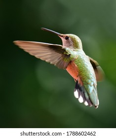 close up of pretty female rufous hummingbird in flight  in summer in broomfield, colorado