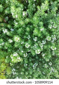 Close up of pretty green Shrub with small white flowers