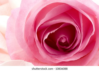 A close up of a pretty pink rose with peach colored rose petals lying nearby.
