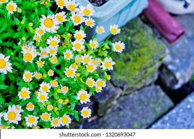 Close up pretty snowland oxeye daisy ,mini marguerite ,Creeping Daisies (Leucanthemum paludosum ,Chrysanthemum paludosum ,Mauranthemum paludosum) is little white flower with copyspace for insert texts
