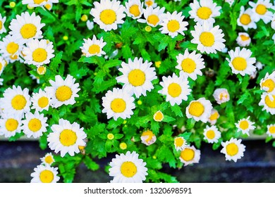Close up pretty snowland oxeye daisy ,mini marguerite ,Creeping Daisies (Leucanthemum paludosum ,Chrysanthemum paludosum ,Mauranthemum paludosum) texture pattern background ,is little white flower.