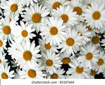 Close up of pretty white   shasta daisies in colorado