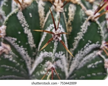 close up of the prickle of an  cactus