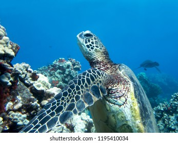 Close up Profile Eyes and Face Sea Turtle Underwater with Reef