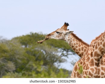 Close up of the profile of a giraffe chewing on a bone to replenish needed calcium and phosphorus in its diet.  Photographed in South Africa.