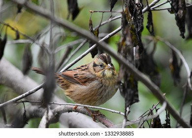 Close up of the profile of a non-breeding immature Swamp Sparrow perched on a branch in the undergrowth.  Photographed in New Hampshire, USA.