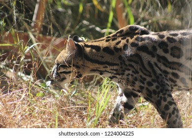 a close up profile of an ocelot walking inside of her enclosure