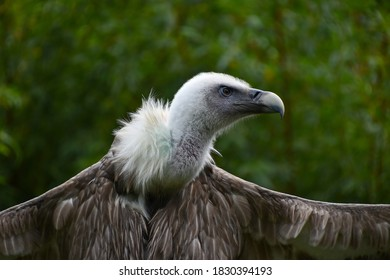 Close up profile portrait of Eurasian griffon vulture (Gyps fulvus) with wings wide spread, low angle, side view