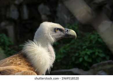 Close up profile portrait of a Eurasian griffon vulture.  It is a large Old World vulture in the bird of prey family Accipitridae. It is also known as the Eurasian griffon.