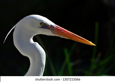 Close up profile portrait of a Great Egret, Or Great White Heron (Ardea alba), in Key West, Florida.