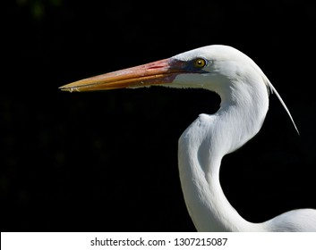 Close up profile portrait of a Great Egret, Or Great White Heron (Ardea alba), against a black background, in Key West, Florida.