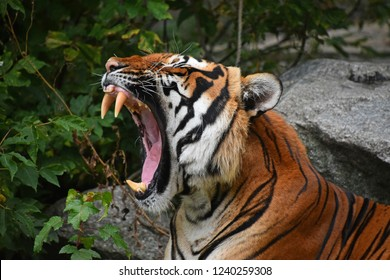 Close up profile portrait of one Indochinese tiger yawning or roaring, mouth wide open and showing teeth, low angle view