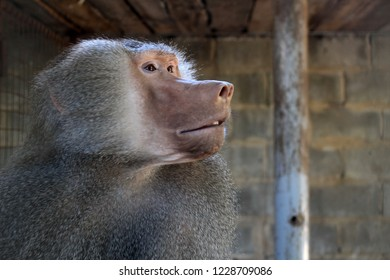 A close up profile portrait of a real primate gazing off longingly towards the right of the photograph's frame.