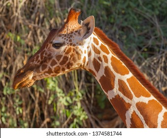 Close up profile Reticulated giraffe Giraffa camelopardalis reticulata Samburu National Reserve Kenya East Africa side profile with big eye. Wildlife on safari drive