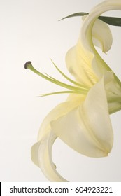 Close up profile shot of a huge white Casablanca lily