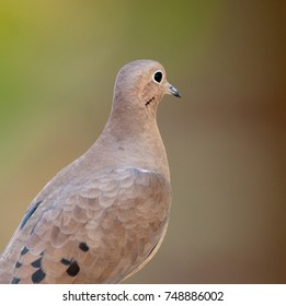 Close up profile of tan and gray mourning dove, Zenaida macroura, of the family Columbidae