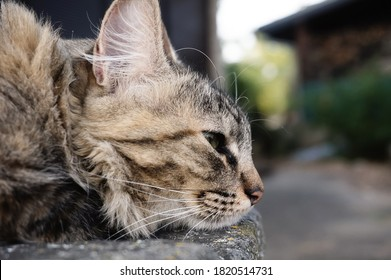 Close profile view of a beautiful, sleepy female cat (tortoiseshell-and-white cat) in rest position ; the feline has white whiskers and half-closed green eyes