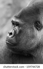 close up profile of west lowland silver back gorilla in black and white