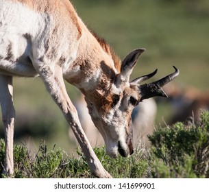 Close up of a pronghorn in Yellowstone.