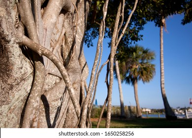 Close up of prop roots and trunk of a Banyan tree in a park in Florida.
