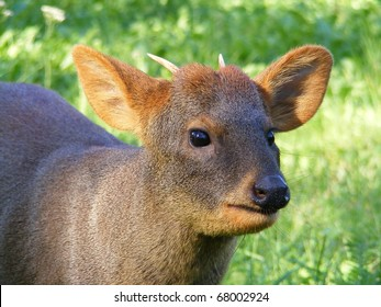 Close up of pudu