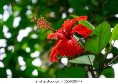 Close up of Puero Rico's Flor de maga in El Yunque, Puerto Rico