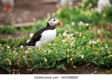 Close up of a puffin guarding its burrow