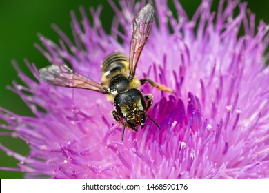 Close up of a Pugnacious Leafcutter Bee collecting nectar from a purple Thistle flower. King's Mill Park, Toronto, Ontario, Canada.
