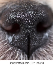 Close Up of Puppy Nose
