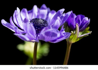 Close up purple anemone flowers in front of black background
