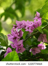 Close up of purple bougainvillea