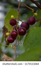 Close up of a purple bunch grapes