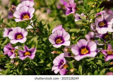 Cierre de las flores moradas de Calibrachoa en una cesta colgante, también conocida como Million Bells o mini petunia.