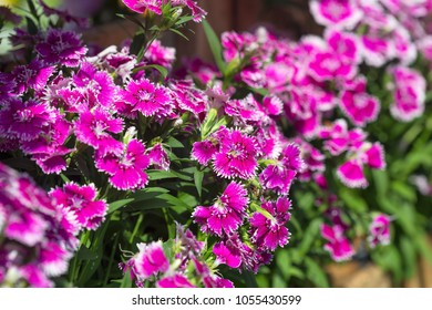 Close up of Purple Dianthus Barbatus Flowers (Sweet William)
