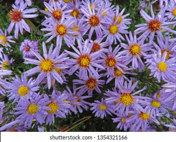 Close up of the purple flowers of the plant Aster amellus, the European Michaelmas-daisy. Poland, Europe