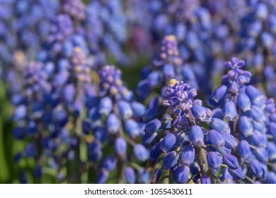 Close up of Purple Grape Hyacinth Flowers (Muscari Botryoides) with Blur Background