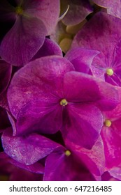 close up of a purple hydrangea flower blooming in spring/ Purple Hydrangea flower