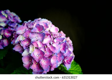 Close up purple Hydrangeas on black background studio isolate and stand out flowers