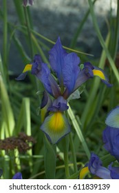 A close up of purple Irises photographed at the Olympia Farmers Market gardens in Olympia, WA, USA.