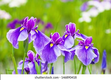 Close up of purple Japanese iris flowers