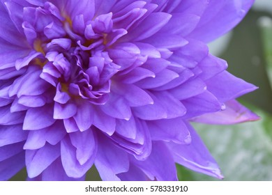 Close up purple lotus.