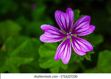 Close up of a purple Malva flower, commonly called a mallow. It is a herbaceous annual, biennial, and perennial plant, family Malvaceae.