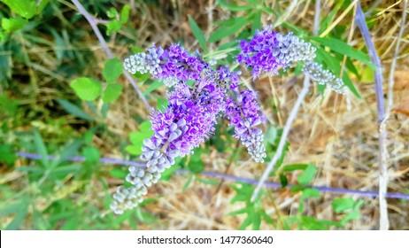 Close up purple mediterranean Vitex agnus-castus flowers, also called vitex, chaste tree (or chastetree), chasteberry, Abraham's balm, lilac chastetree, or monk's pepper