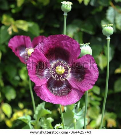 Close Purple Opium Poppy Flower Head Stock Photo Edit Now